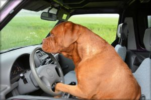 Dog driving in a car.